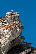 Big Horn Sheep on a rock.