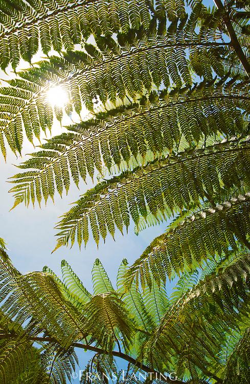Sunlight on tree ferns, Atherton Tableland, Queensland, Australia