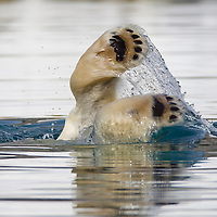 Norway, Svalbard, Spitsbergen Island, Close-up of paw of Polar Bear (Ursus maritimus) diving in shallow water while feeding on submerged remains of dead Fin Whale
