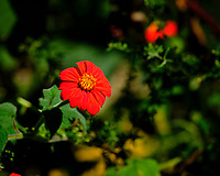 Mexican Sunflower. Image taken with a Fuji X-H1 camera and 80 mm f/2.8 macro lens + 1.4x teleconverter