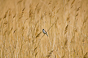 Male Reed Bunting, Emberiza schoeniclus, among fragmites reeds in Gloucestershire, UK