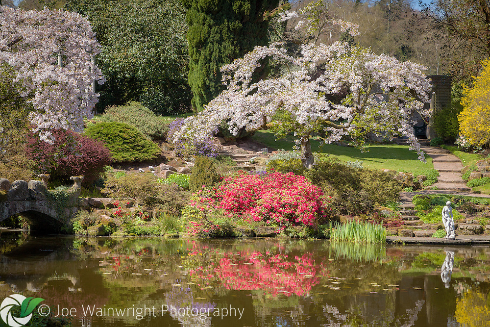 Cherries and azaleas blossom in the Temple Garden at Cholmondedely Castle, Cheshire