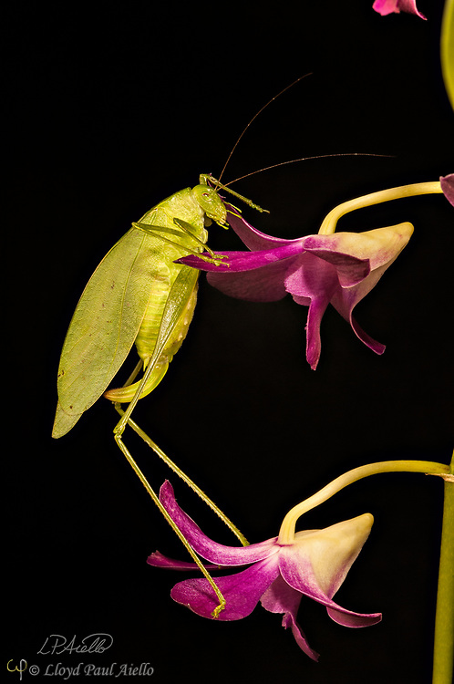 This Fork-Tailed Bush Katydid (Scudderia furcate) is climbing the blooms of a Dendrobium orchid. Primarily nocturnal in habit, it has become expert at camouflage by mimicking the shape and colors of the leaves upon which it feeds.  <br /> <br /> Insects in this family (Tettigoniidae) are commonly called katydids or bush crickets and more than 6,400 species are known. The Fork-Tailed Bush Katydid, is native to the United States and widespread in the eastern and southeastern regions.  Adults are 14 - 75mm (0.55 - 2.95 inches) in length and have excellent eyesight.  <br /> <br /> Katydids have much longer antennae than grasshoppers, averaging 39mm (1.53 inches) and they only produce one generation annually since the eggs require a rest period.  <br /> <br /> The males have sound-producing organs located on the hind angles of their front wings. The males use this sound for courtship, which occurs late in the summer. The sound is produced by rubbing two parts of their bodies together, a process called stridulation. The males call 24-hours a day using 2-3 chirps followed by various periods of silence while waiting for a female to respond.  The insect gets its name from the sound of the male&rsquo;s call: &ldquo;Katy-did&rdquo;. <br /> <br /> The tempo of the calls is governed by ambient temperature.  For American katydids, the number of chirps in 15 seconds plus 37 will be close to the outside temperature in degrees Fahrenheit.