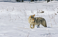Coyote hunting in winter