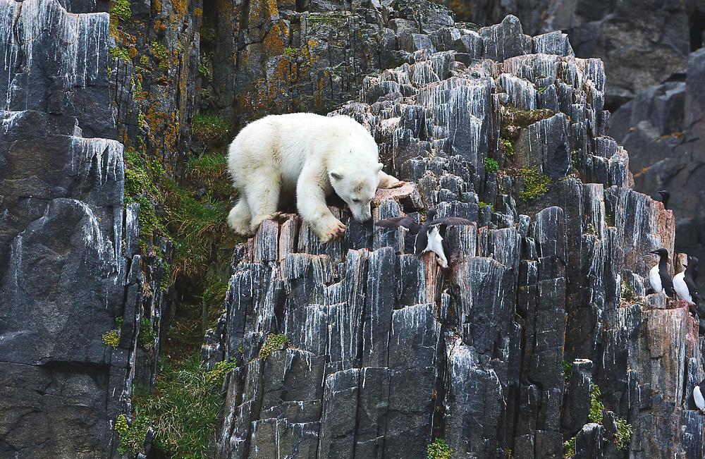 Polar Bear hunting on a bird cliff