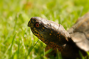 box turtle, box turtle in grass, macro box turtle head, orange and black box turtle