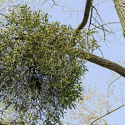 Santalaceae, Sandelhoutfamilie