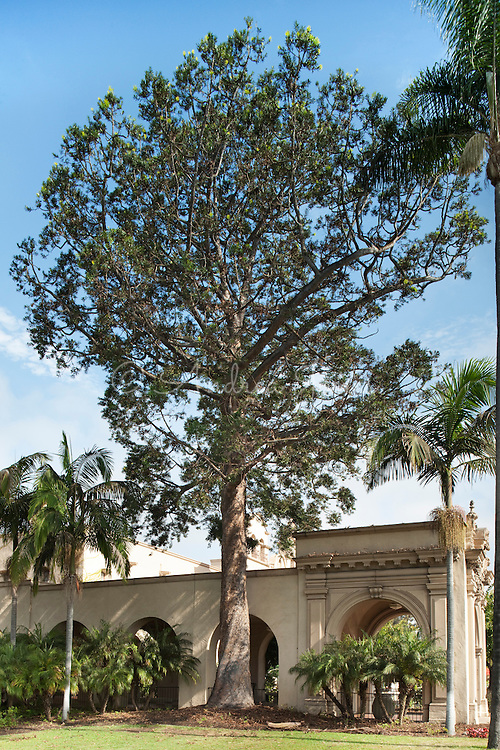 Agathis australis (Kauri pine) growing by the Mingei International Museum at The Plaza de California, Balboa Park