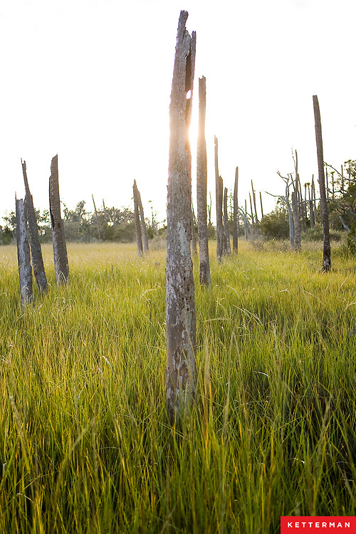 Dead trees rise out of the marsh.