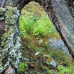The roots of a fallen tree form an arch over ferns and a spruce tree sapling on Isle Au Haut in Maine's Acadia National Park.