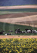 Amish farm landscape, cows, plowed fields, Lancaster Co., PA