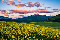 WILDFLOWERS- CRESTED BUTTE, COLORADO