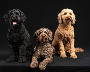 three labradoodles in the studio. Photo by Fred Levy