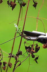 Pruning a clematis in spring to just above a new shoot using Felco secateurs