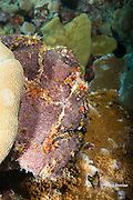 Commerson's frogfish, or giant frogfish, Antennarius commerson, Kohanaiki, near Kaloko-Honokohau National Historical Park, Kaloko, Kona, Hawaii Island ( the Big Island ), Hawaii, U.S.A. ( Central Pacific Ocean )