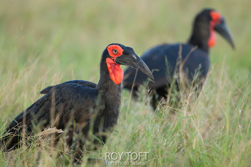 A pair of southern ground hornbill, Botswana, Africa