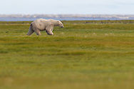 A lone adult polar bear walking along the grasslands, Manitoba, Canada