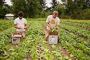 Male farm workers inbetween rows in Dancing Roots Farm in Troutdale, Oregon.