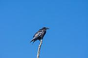 common raven (Corvus corax), E.C. Manning Provincial Park, British Columbia, Canada
