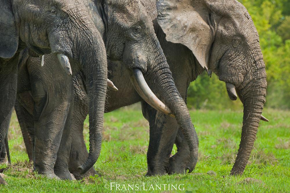 Elephant bulls on floodplain, Loxodonta africana, Mole National Park, Ghana