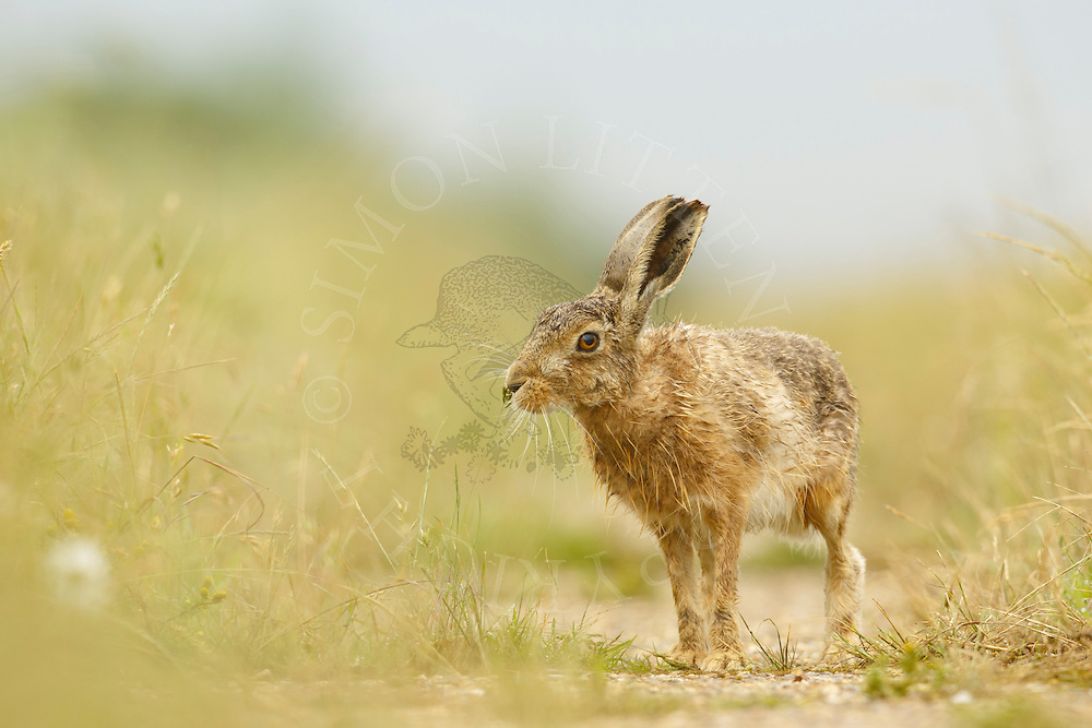 European Hare (Lepus europaeus) adult on farmland track, South Norfolk, UK. June.