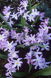 Chionodoxa forbesii 'Pink Giant' syn. C. luciliae of gardens - Glory of the snow