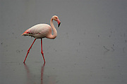 Greater flamingo (Phoenicopterus ruber) wading through shallow waters while it rains. Fuente de Piedra Lagoon, Malaga province, Andalucia, Spain.