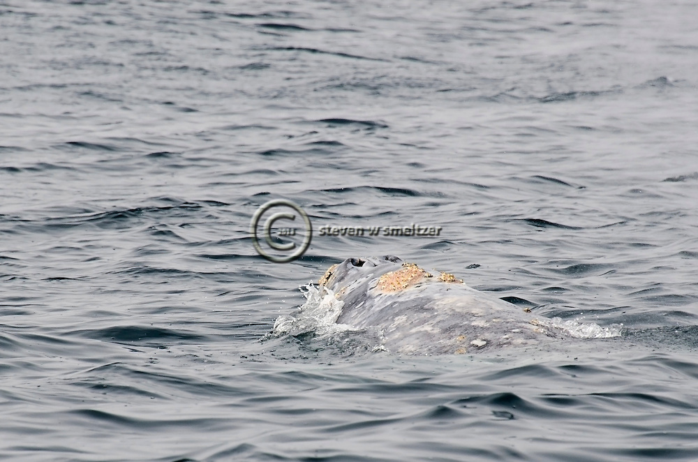 Gray Whale, Eschrichtius robustus, Eastern North Pacific Gray Whale,Whale Migration