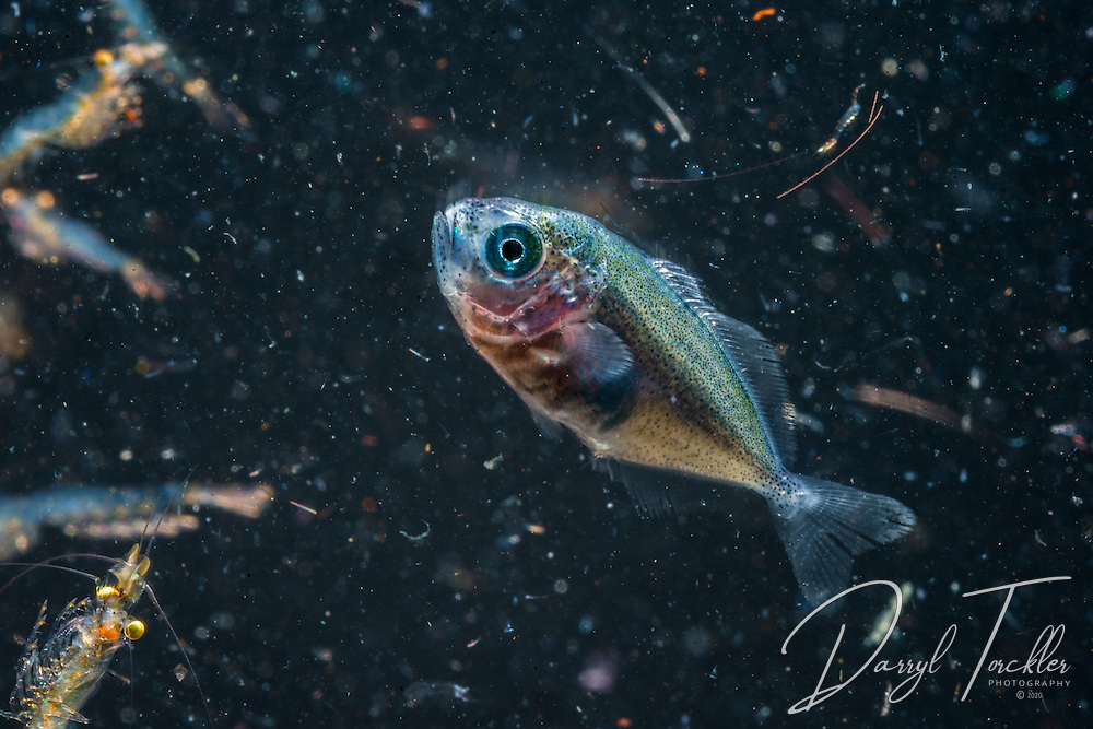 Small unknown juvenile fish attracted to lights at night. Poor Knights Islands. New Zealand.