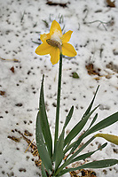 Lonely daffodil with snow in April -- Winter is not gone. Image taken with a Leica TL2  camera and 60 mm f/2.8 lens (ISO 100, 60 mm, f/5, 1/200 sec).