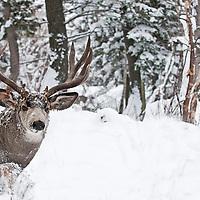 muledeer buck fir aspen trees heavy deep snow