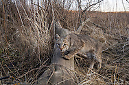 "Captured on film by a ""camera trap,"" a female bobcat pauses along a creek drainage in tallgrass prairie. The bobcat is the most abundant wildcat in the United States and can adapt to diverse habitats such as woodlands, forests, swamps, deserts, agricultural lands and even suburban areas.  Though relatively common in parts of the Plains, bobcats are solitary, nocturnal, and well camouflaged by the way their coats perfectly match their surroundings, so they are rarely seen by humans.  Bobcats, named for their ""bobbed"" tails, are roughly twice the size of a house cat, and usually eat rabbits, birds, mice, squirrels, and other small game.  In some areas, bobcats are still hunted for sport and fur, and although they are not considered threatened with extinction; their populations must be closely monitored.  Audubon Spring Creek Prairie, Nebraska."