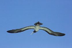A Brown booby (Sula leucogaster) flies away from the beach at Adele Island.