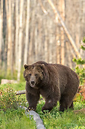 Weighing well over 500 pounds, this large male grizzly traveled through the woodlands surrounding Yellowstone Lake looking for a mate and ultimately found one.