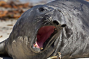 A male southern elephant seal bellows