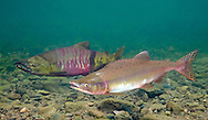 Pink Salmon<br />