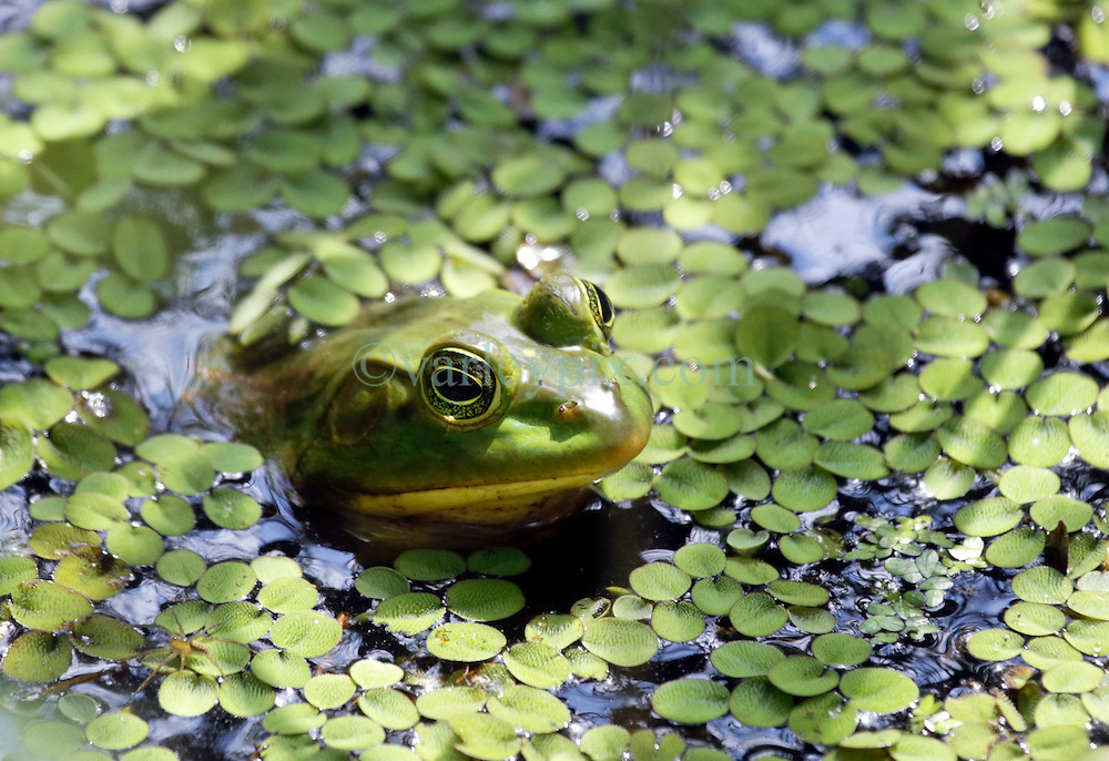 04 June 2015. Jean Lafitte National Historic Park, Louisiana.<br /> A Bullfrog in the swamp at the Barataria Preserve wetlands south of New Orleans.<br /> Photo&copy;; Charlie Varley/varleypix.com