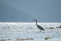 Great Blue Heron (Ardea herodias), Orcas Island, San Juan Islands, Washington, US