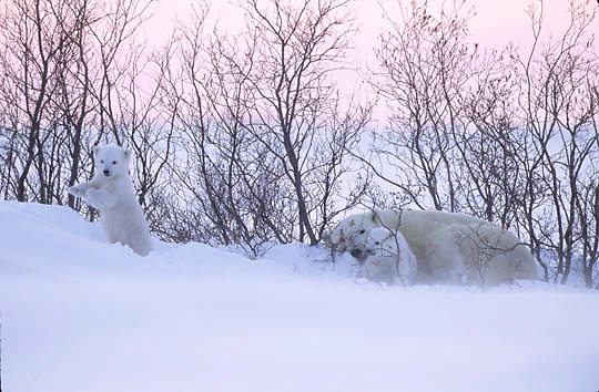 Polar Bear, (Ursus maritimus) Mother with very young cubs just leaving winter den. Churchill, Manitoba. Canada.