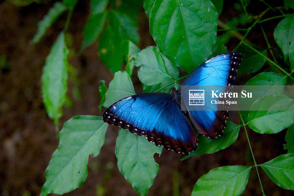 Peleides Blue Morpho (Morpho peleides) butterfly, Costa Rica