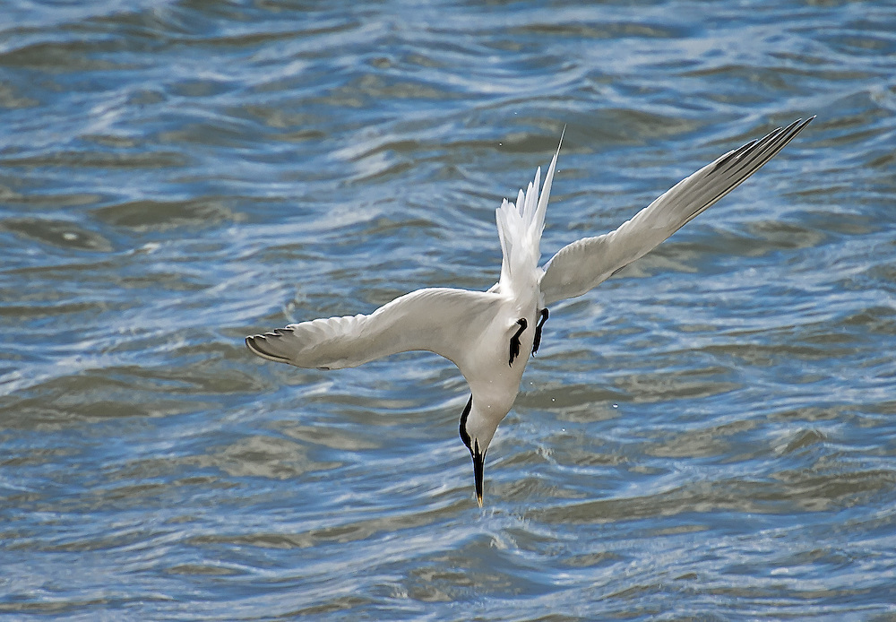 Sandwich Tern diving into the Solent off Cowes, Isle of Wight