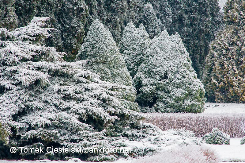 Conifers on winter border
