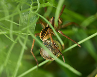 Large Spider with a larger egg sack. Image taken with a Fuji X-H1 camera and 80 mm f/2.8 OIS macro lens