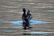 New Zealand Scaup, Lake Wakatipu, New Zealand