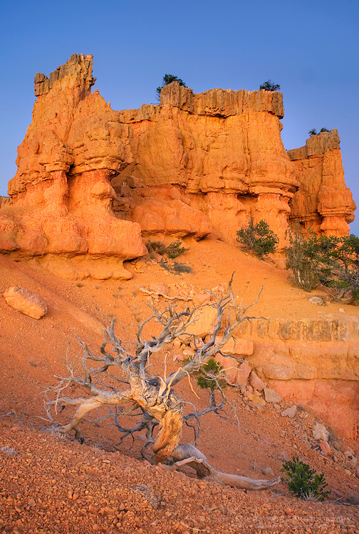 Weathered and bleached Juniper tree (Juniperus osteosperma), Red Canyon Dixie National Forest Utah