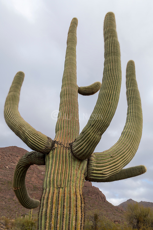 Close up of a large and very old Saguaro cactus (Carnegiea gigantea) in Organ Pipe Cactus National Monument, southern Arizona