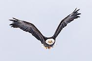 Bald Eagle (Haliaeetus leucocephalus) in flight in the Chilkat Bald Eagle Preserve in Southeast Alaska. Winter. Afternoon.