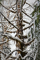 A deciduous tree covered in snow and moss, Washington Cascades, USA.
