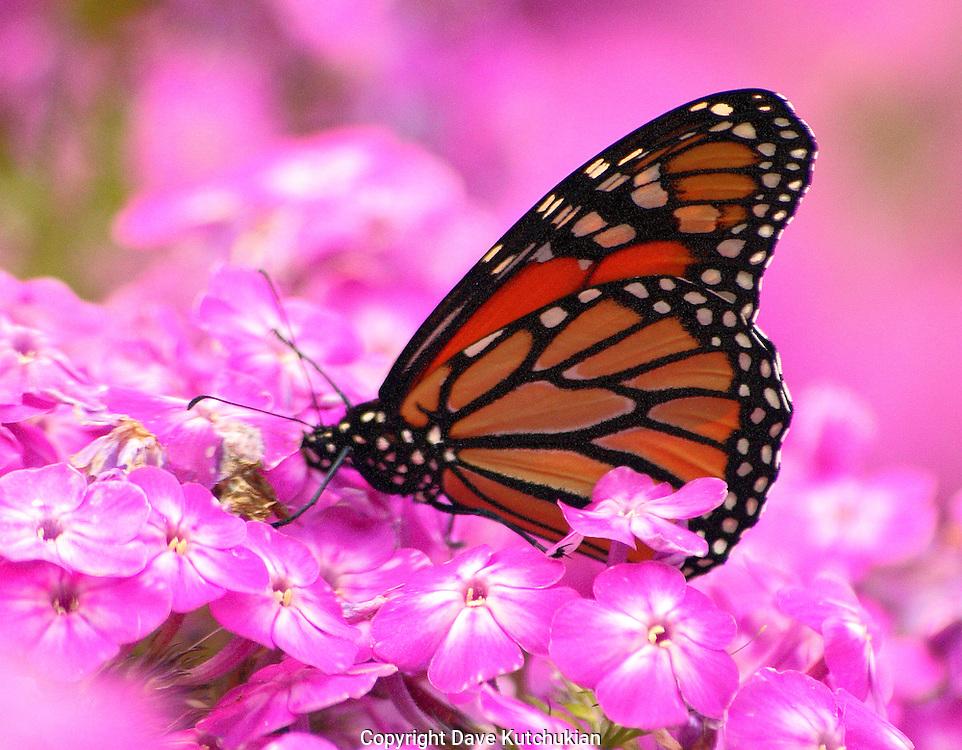 monarch butterfly feasting, feeding on phlox nectar