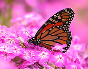 monarch butterfly feasting, feeding on phlox nectar